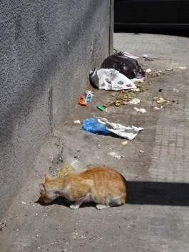 Casablanca scavenging cat