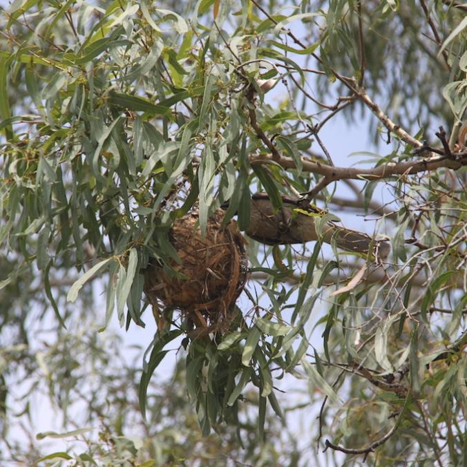 Frilled Neck Lizard prey 2014