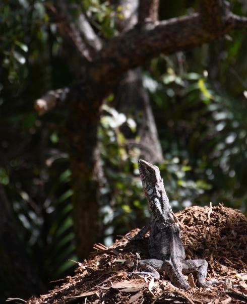 Frilled neck lizard2